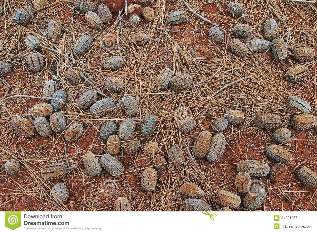 Desert Oak Seed Pods, Uluru Stock Photo.