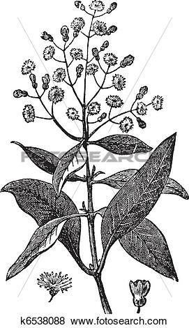 Clip Art of Allspice or Jamaica Pepper or Kurundu or Myrtle Pepper.