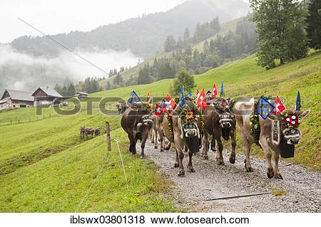 "Pictures of ""Cows decorated with large bells, flowers and flags."