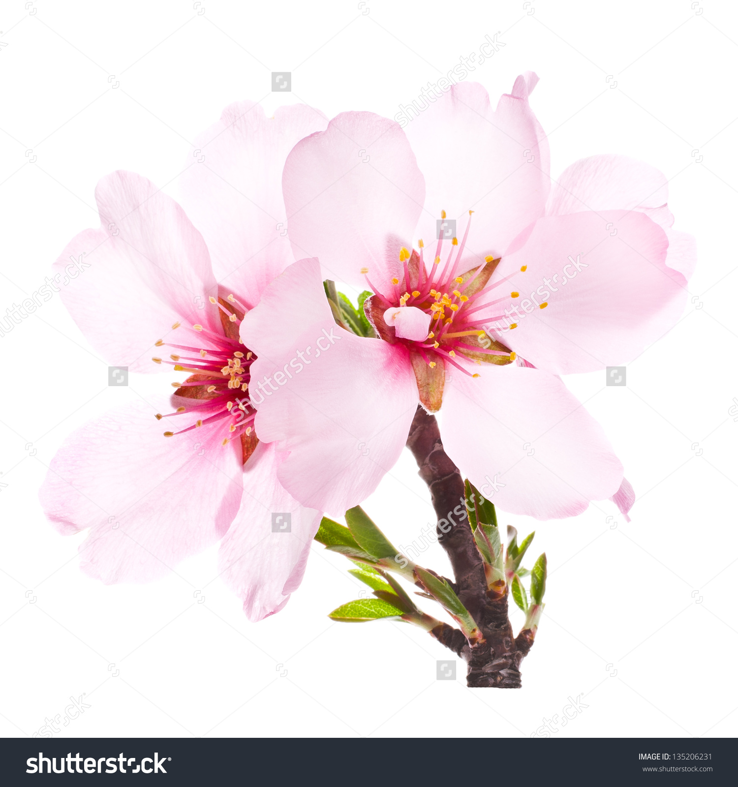 Almond Blossom Royalty Free Clip Art Free.