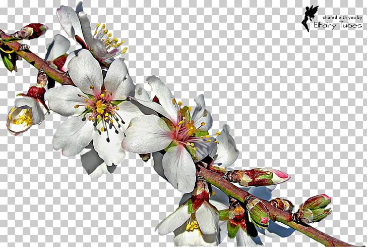 Almond Blossoms Twig , almond PNG clipart.