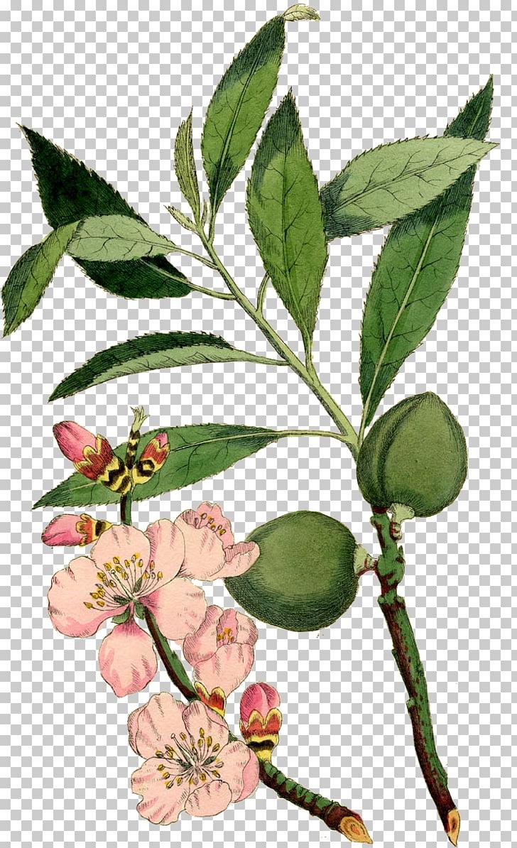 Almond Blossoms Botany Botanical illustration Flower.