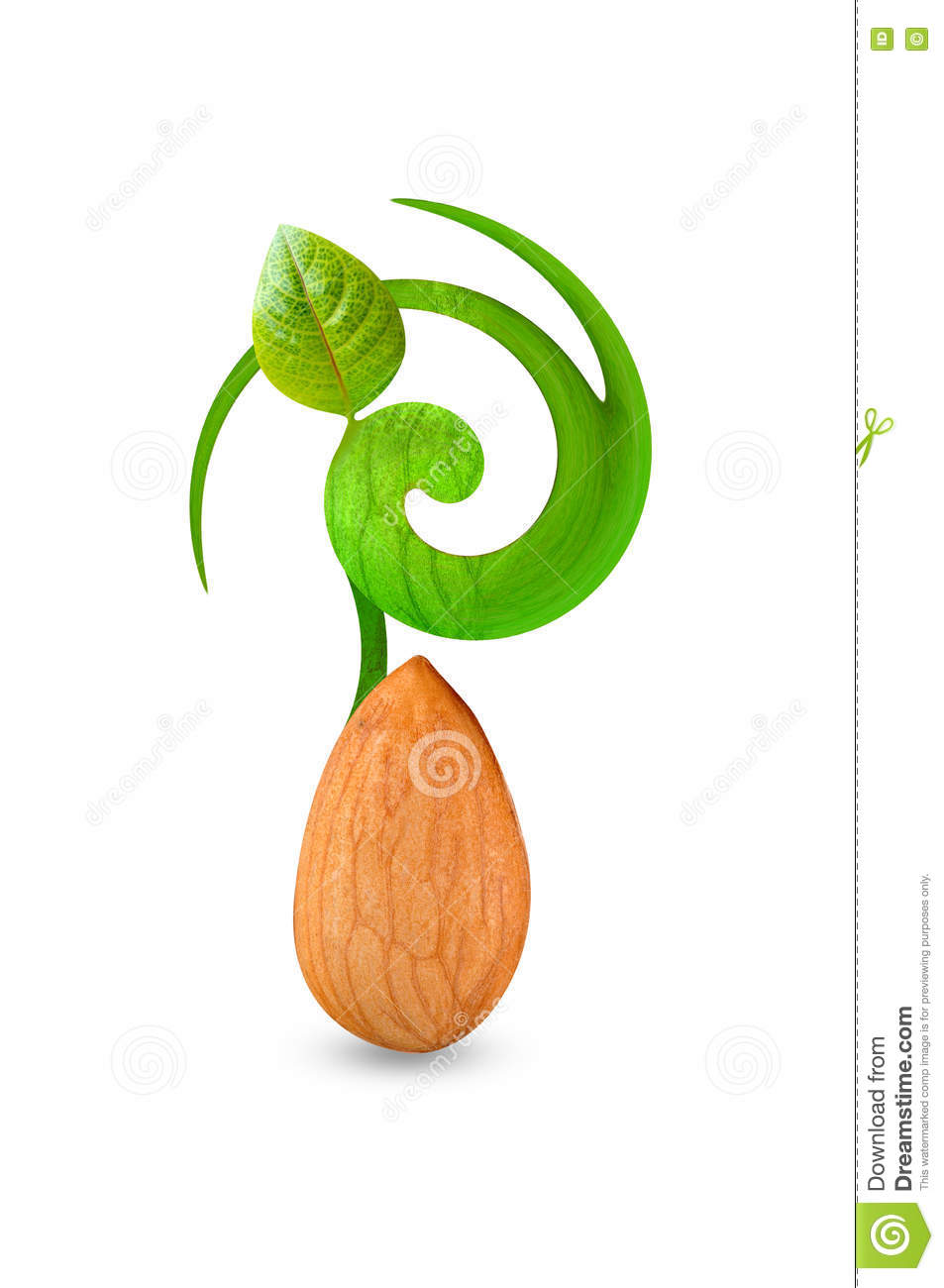 Growth Of Single Almond Leaf Stock Photo.