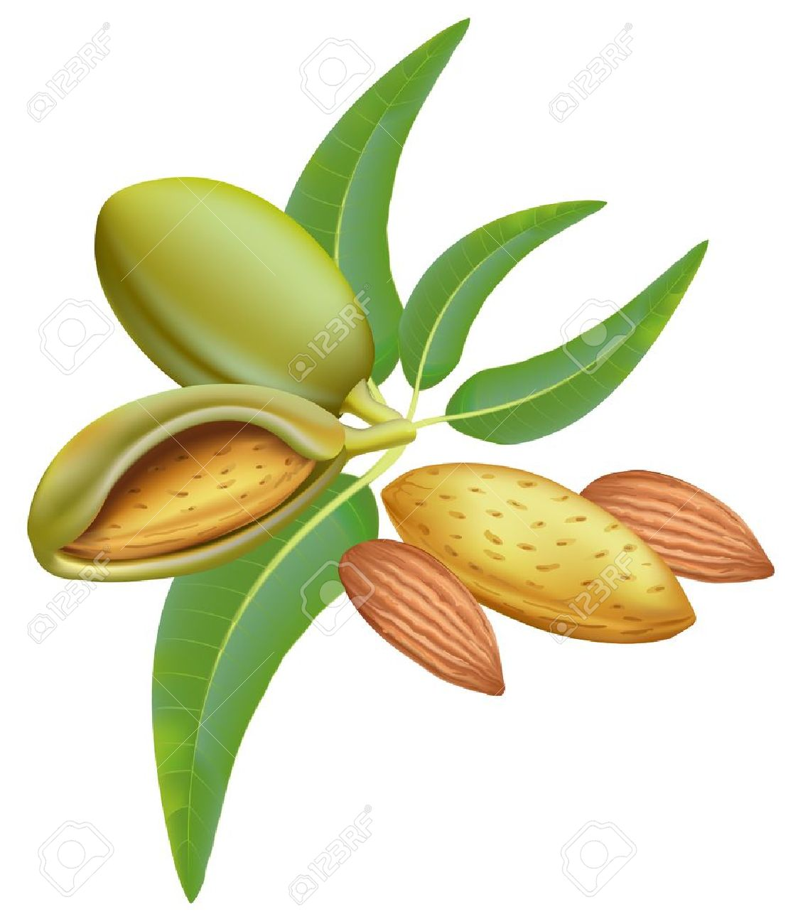 Almonds. Branch With Leaves And Fruits. Royalty Free Cliparts.