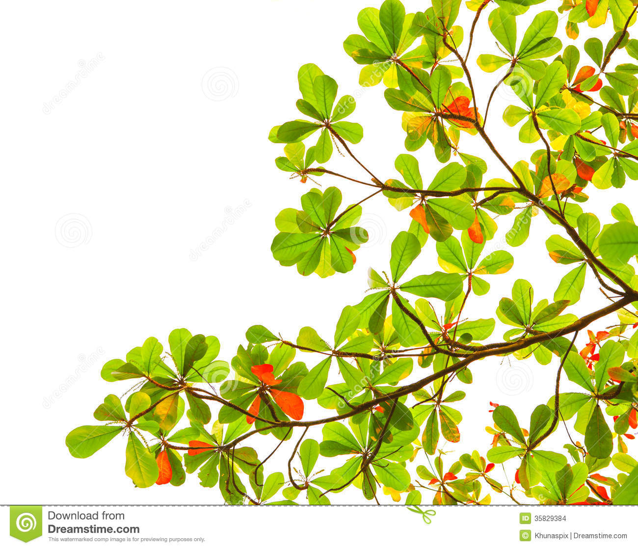 Green And Red Sea Almond Leaves With Tree Branch Isolated On Whi.