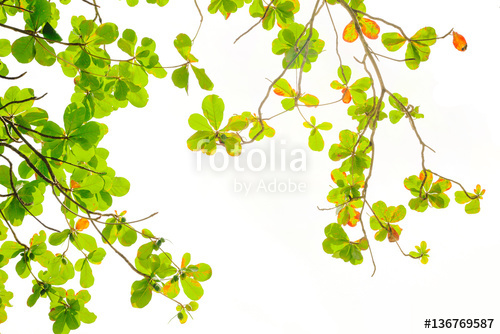 green and red sea almond leaves with tree branch isolated on white.