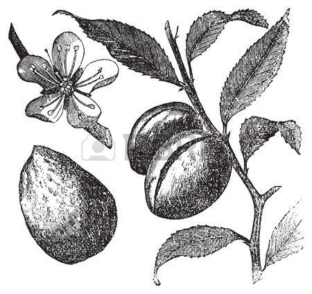 The Almond tree or prunus dulcis vintage engraving Fruit flower.
