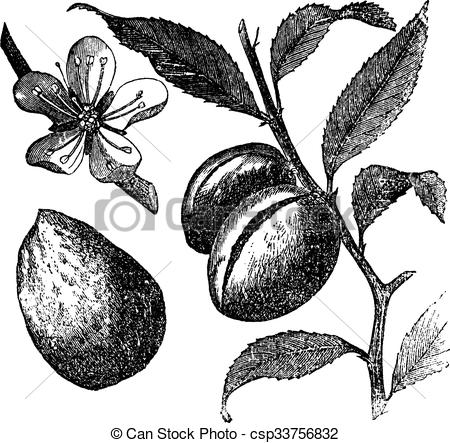 Almond tree Clipart and Stock Illustrations. 240 Almond tree.