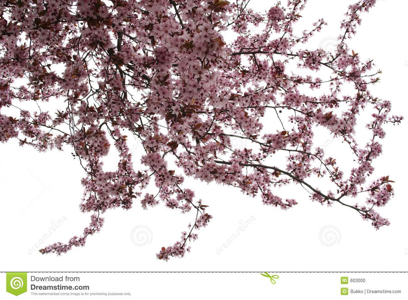 Almond Tree Stock Photo.