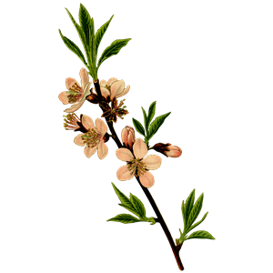 Almond tree clipart, cliparts of Almond tree free download.