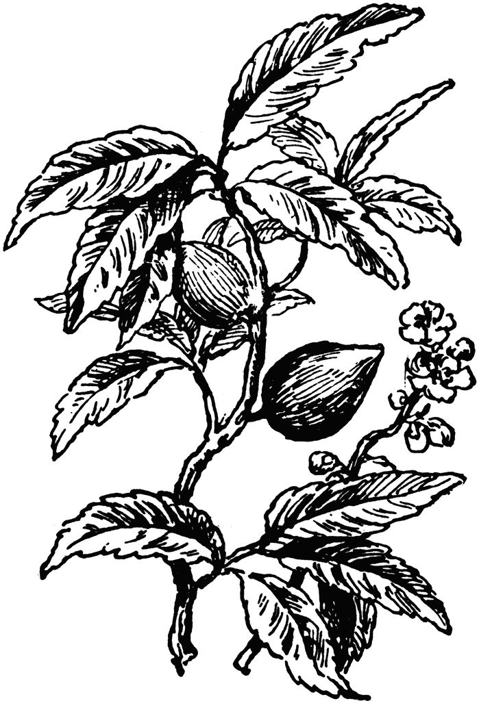 Almond Tree Branch Black And White Almond tree clipart etc.