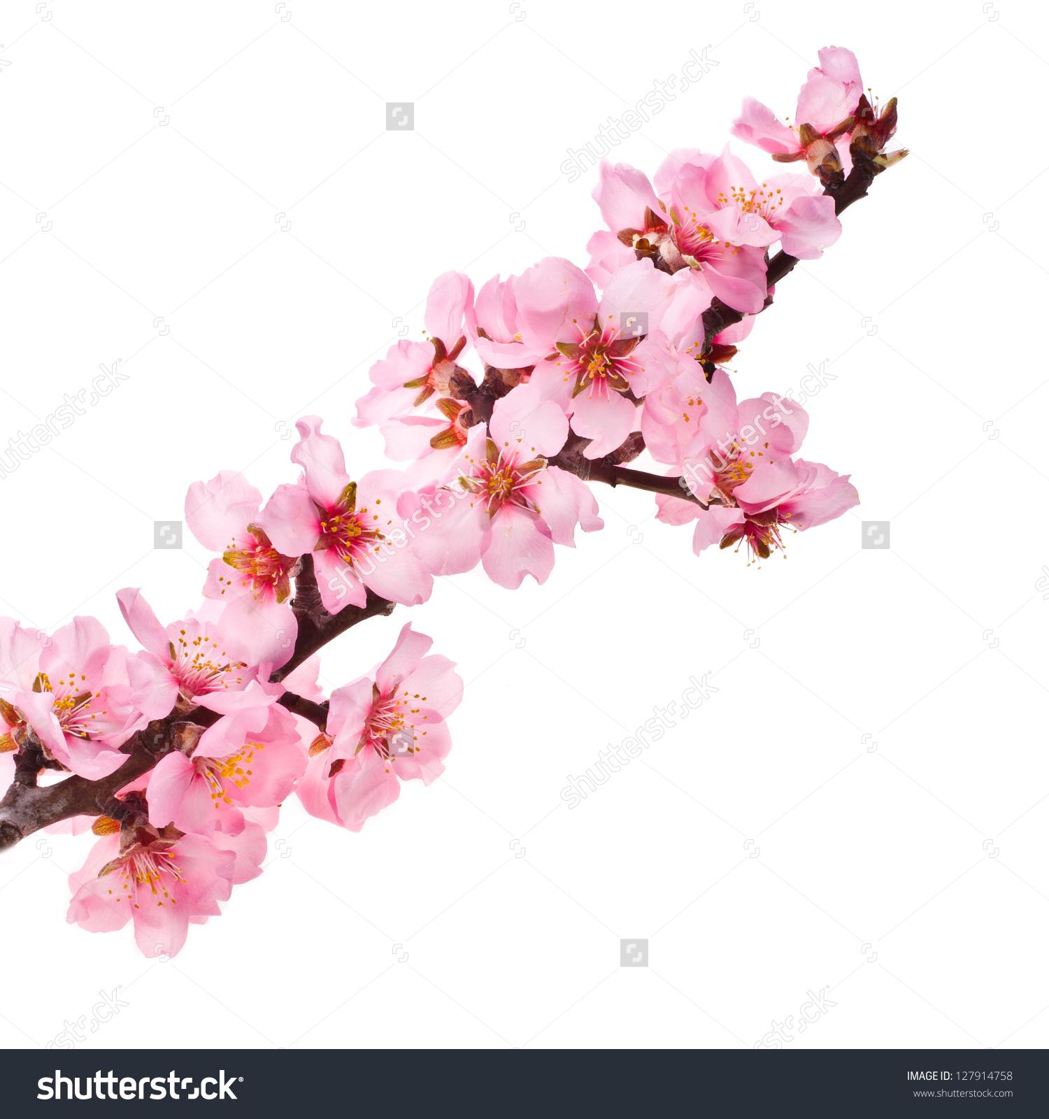 Almond Tree Pink Flowers Closeup Branch Stock Photo 127914758.