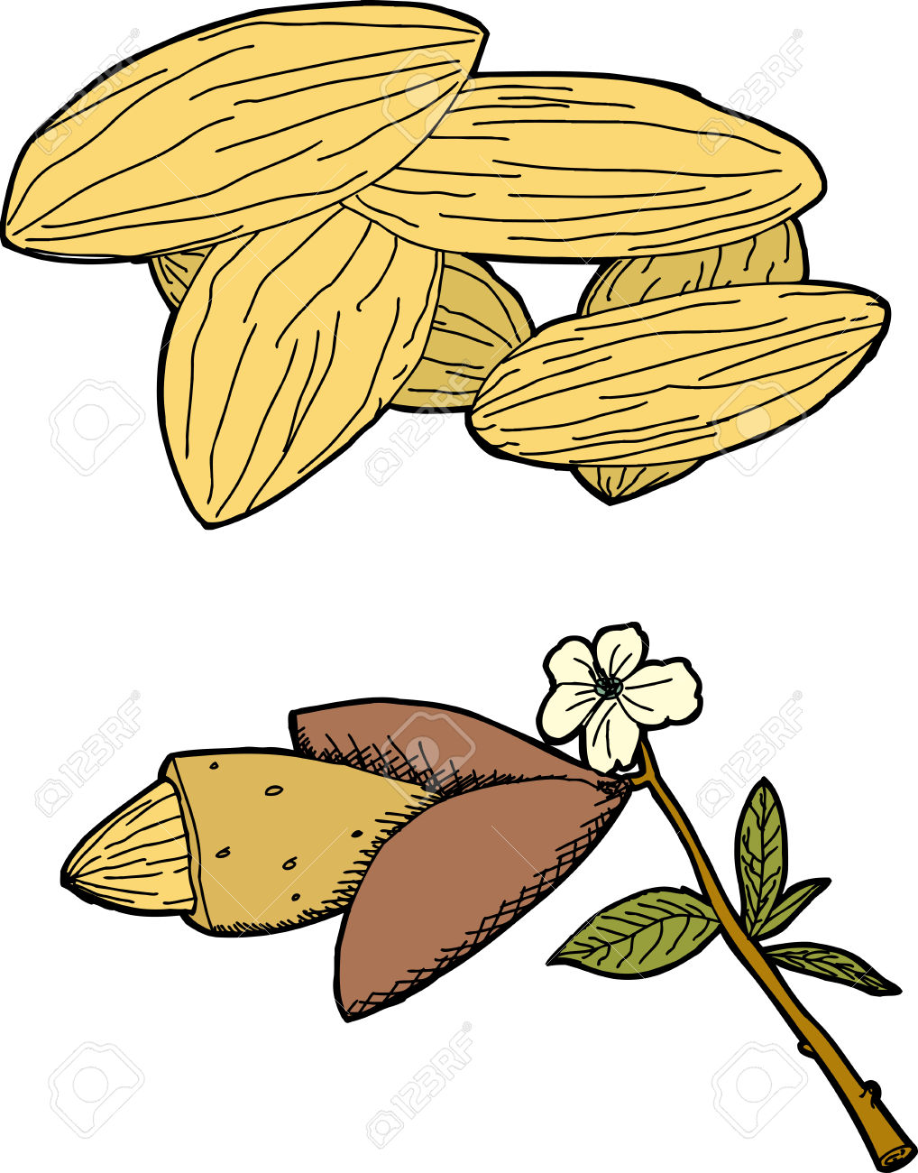 Hand Drawn Graphic Of Almonds And Almond Tree Branch Royalty Free.