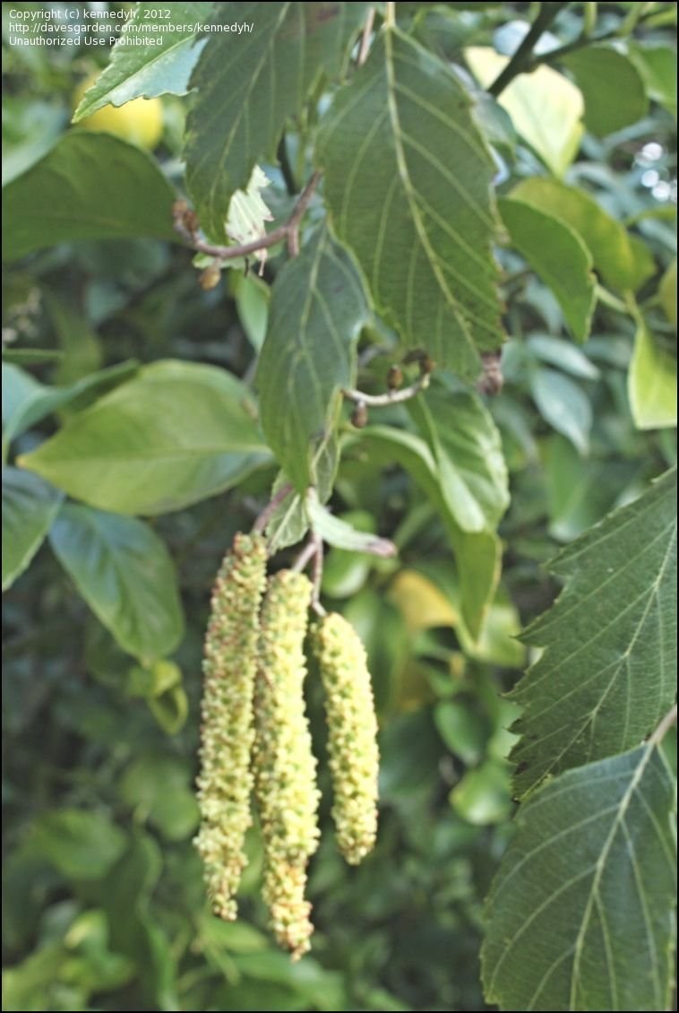 PlantFiles Pictures: Andean Alder (Alnus acuminata) by RosinaBloom.