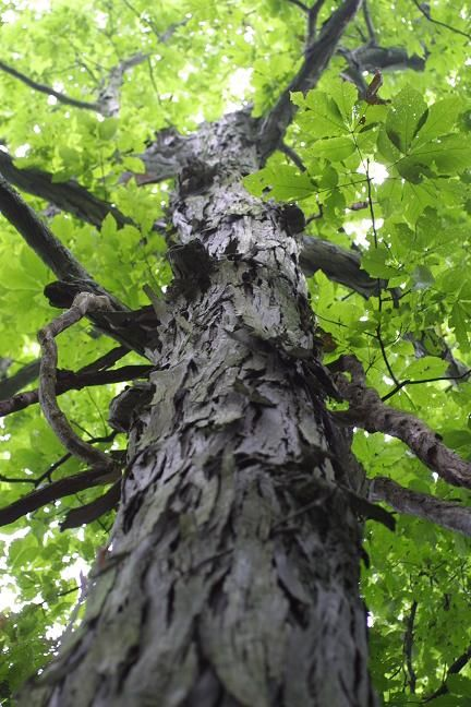 Hickory Pecan Tree..