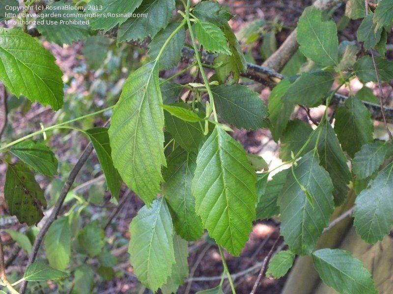 PlantFiles Pictures: Andean Alder (Alnus acuminata), 1 by RosinaBloom.