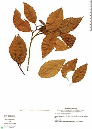 Alnus acuminata Kunth.