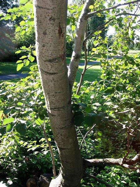Alder Tree Names Pictures and Types of Alnus Species.