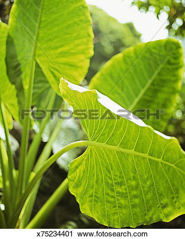 Stock Photography of Green alocasia leaves x75234401.