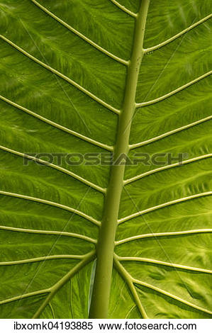 Stock Image of Giant Alocasia (Alocasia macrorrhiza), detail, leaf.