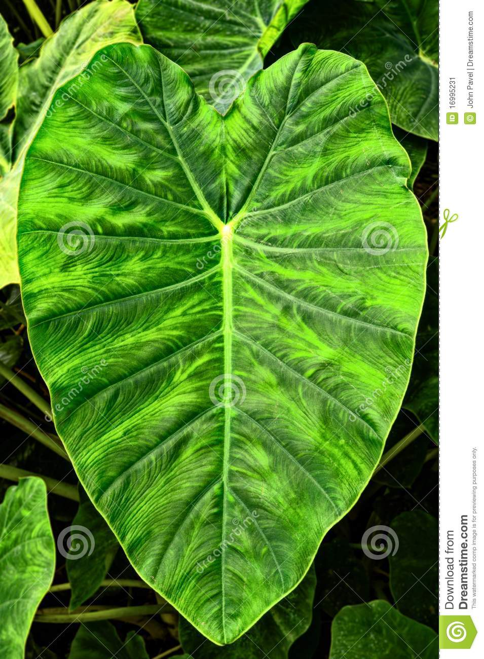 Giant Elephant Ear Taro Leaf,Alocasia Macrorrhizos Stock Image.