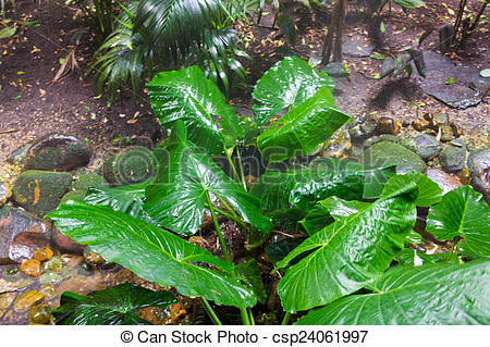 Stock Photographs of Giant Taro leaves (Alocasia) csp24061997.