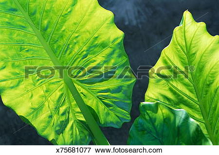 Picture of ELEPHANT EAR PLANT (ALOCASIA) x75681077.