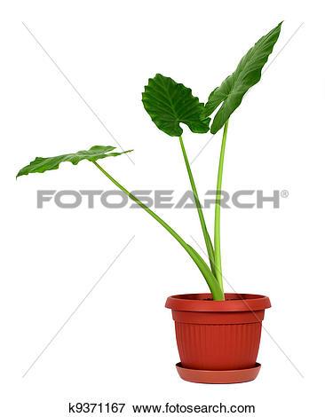 Picture of Alocasia machrorhiza k9371167.
