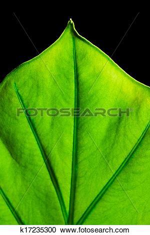 Stock Photography of Alocasia machrorhiza k17235300.