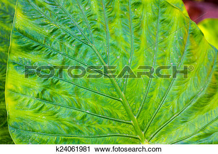 Stock Photography of Giant Taro leaves (Alocasia) k24061981.