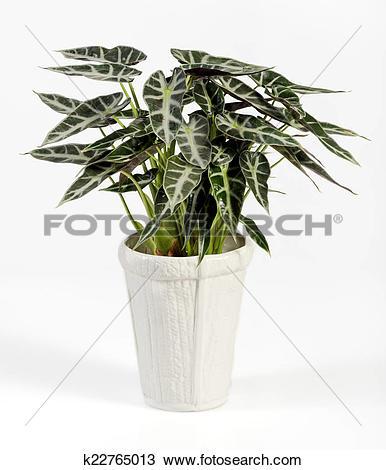 Stock Photo of Alocasia Plant on White Pot Isolated on White.