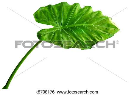 Stock Images of Alocasia machrorhiza k8708176.