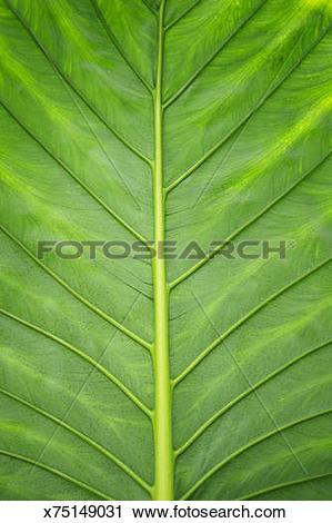 Stock Photography of Giant taro (Alocasia macrorrhizos) leaf.