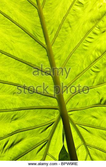 Alocasia Macrorrhizos Stock Photos & Alocasia Macrorrhizos Stock.