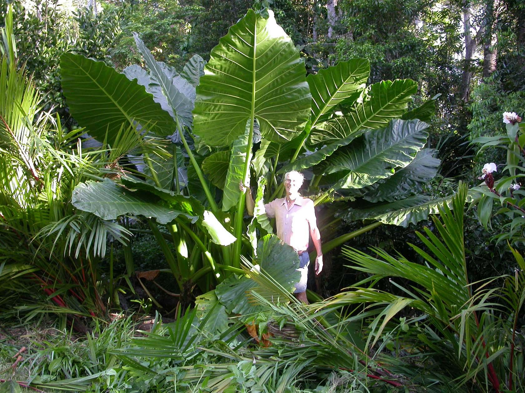 Alocasia BORNEO GIANT ~ Elephant Ear LIVE PLANTS.