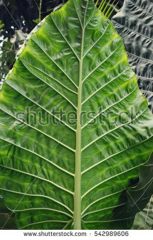 Alocasia Macrorrhiza Elephant Leaf Detail Stock Photo 111075296.