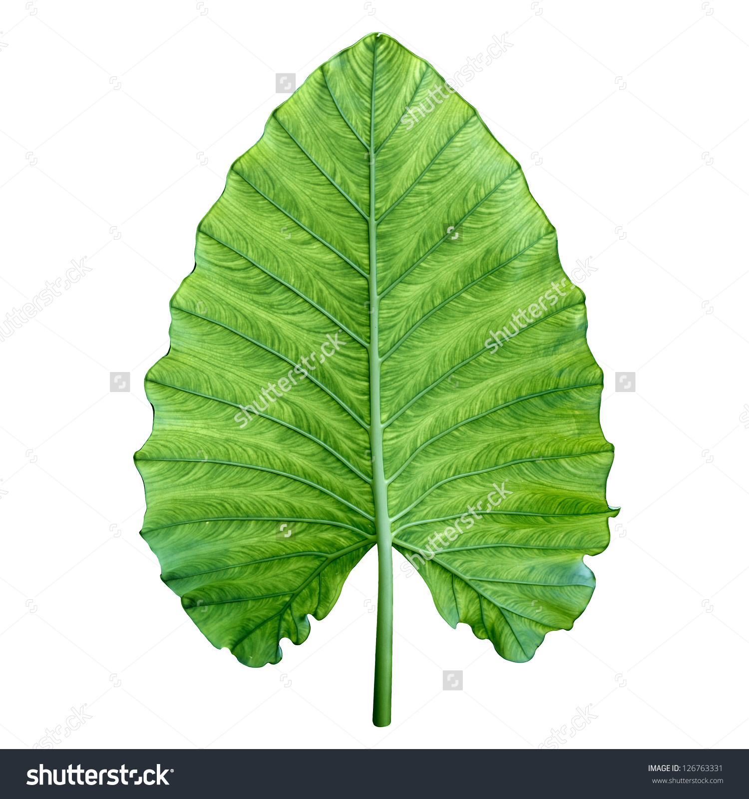 One Big Green Tropical Leaf Giant Stock Photo 126763331.