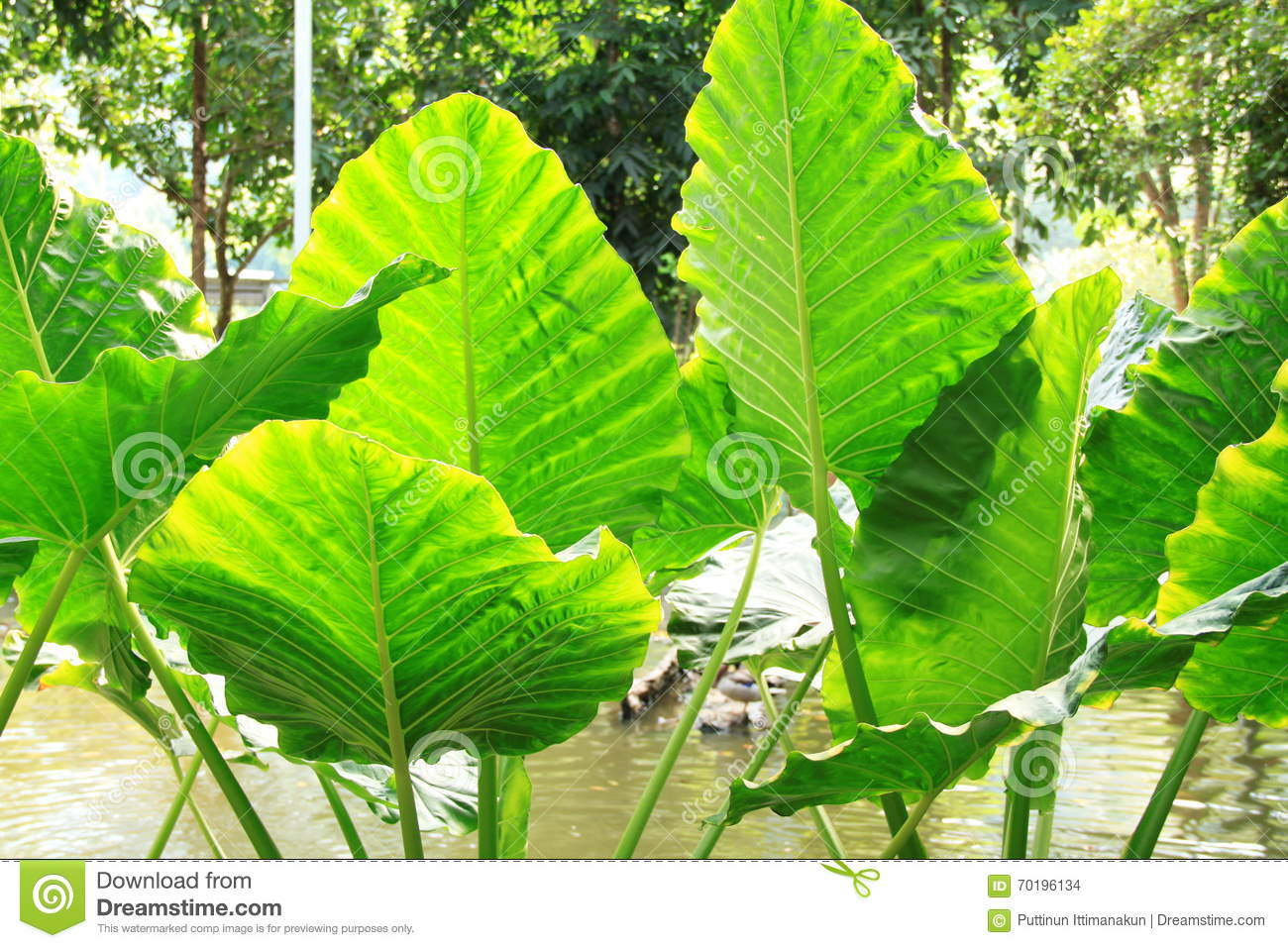 Big Bush Green Tropical Leaf.