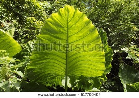Alocasia Stock Photos, Royalty.