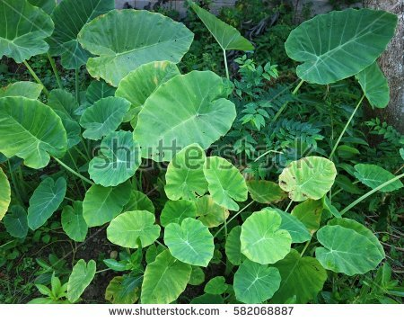 Giant Alocasia Stock Photos, Royalty.