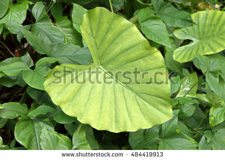 Alocasia Odora Stock Photos, Royalty.
