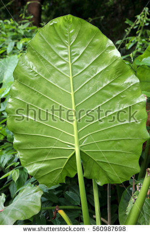 """alocasia Odora"" Stock Photos, Royalty."