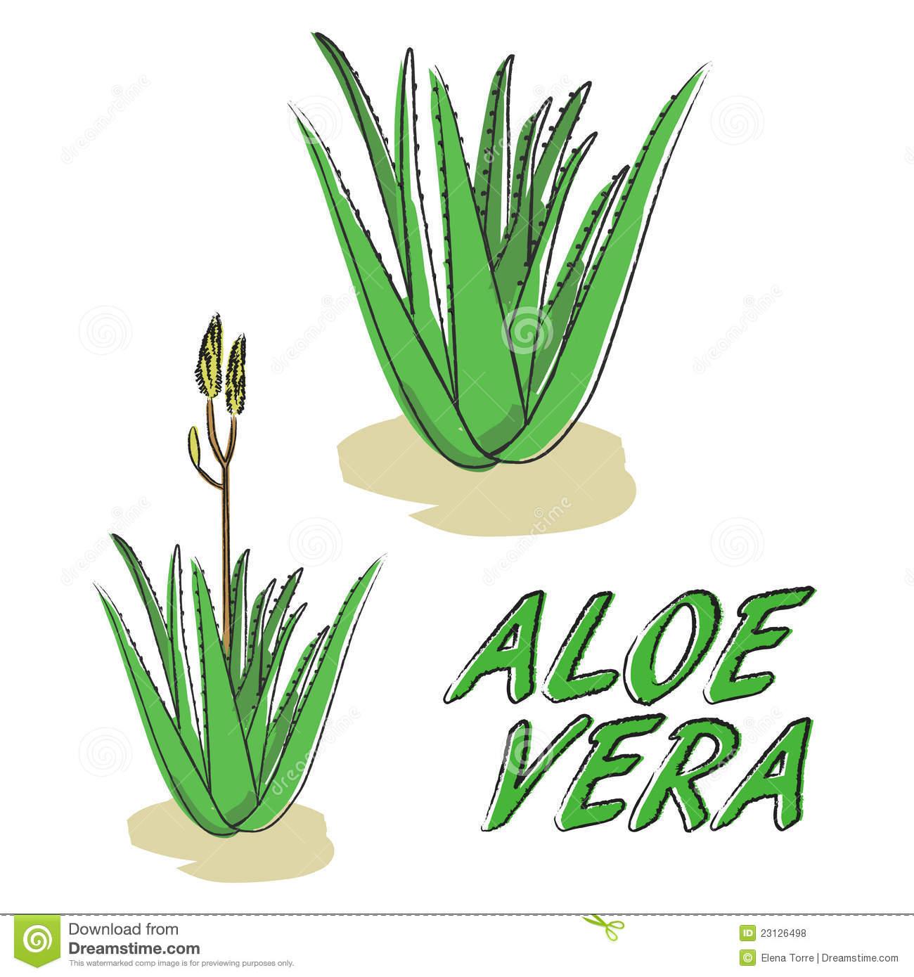 Aloe cliparts.