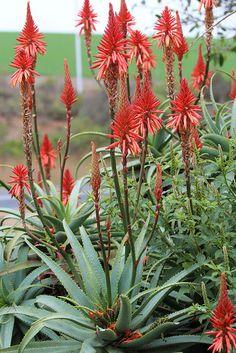 Aloe peglerae Oct 2016 Vaal..