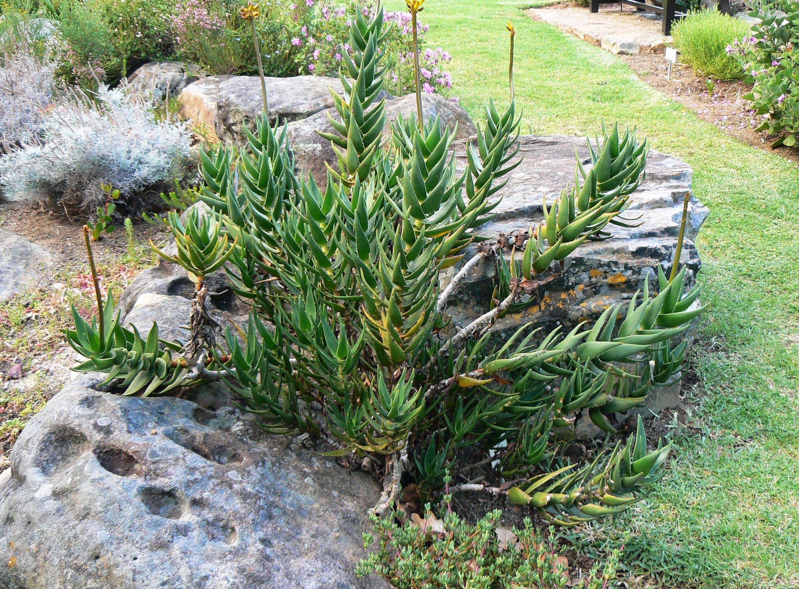 File:Aloe commixta.
