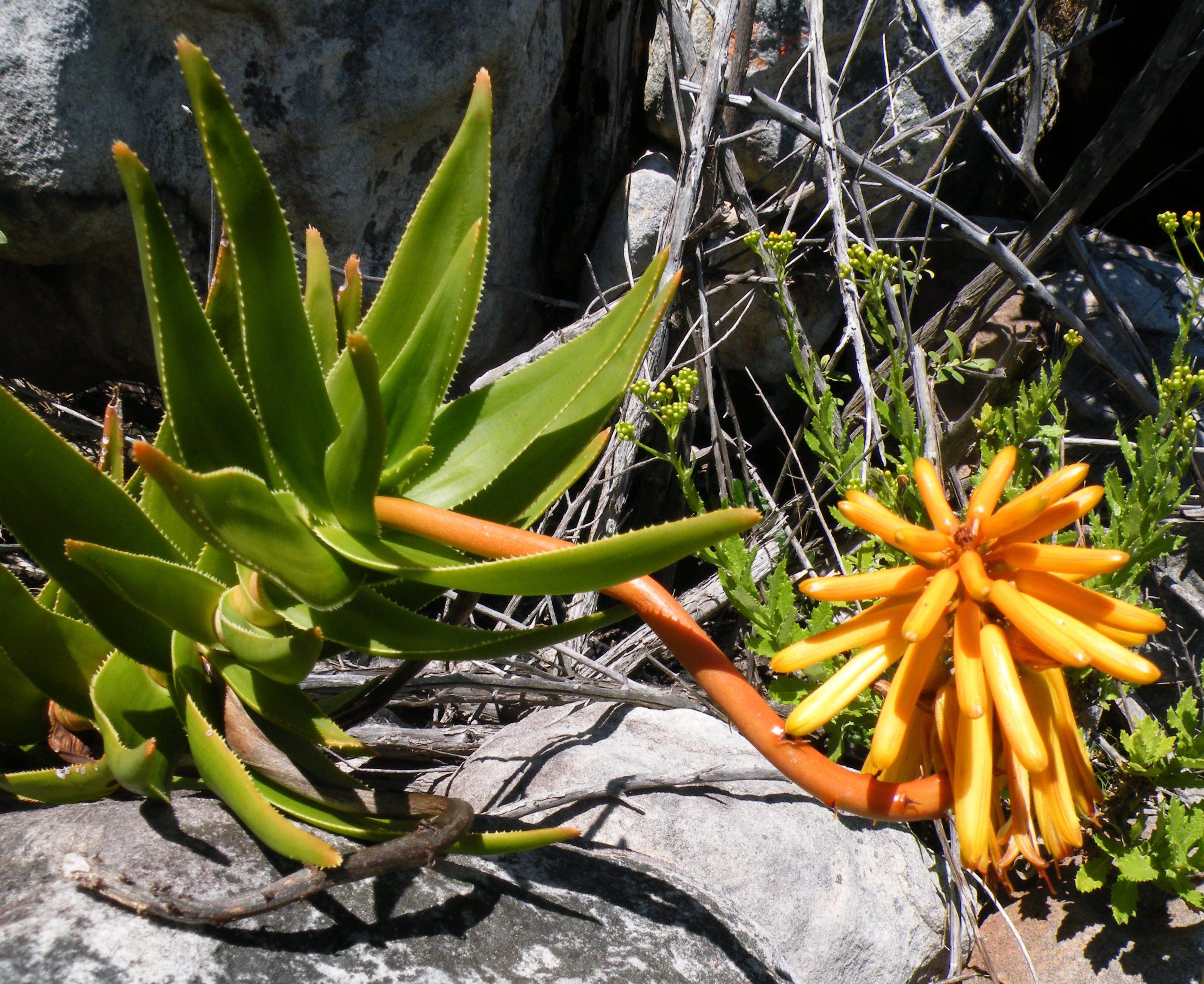 File:Aloe commixta Inflorescence.
