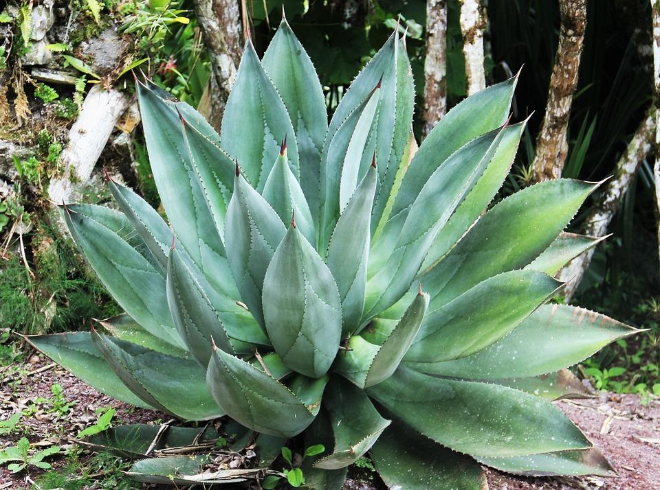 Aloe.