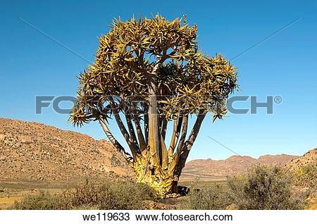 Stock Photo of Giant Quiver tree, Kokerboom, Aloe dichotoma.