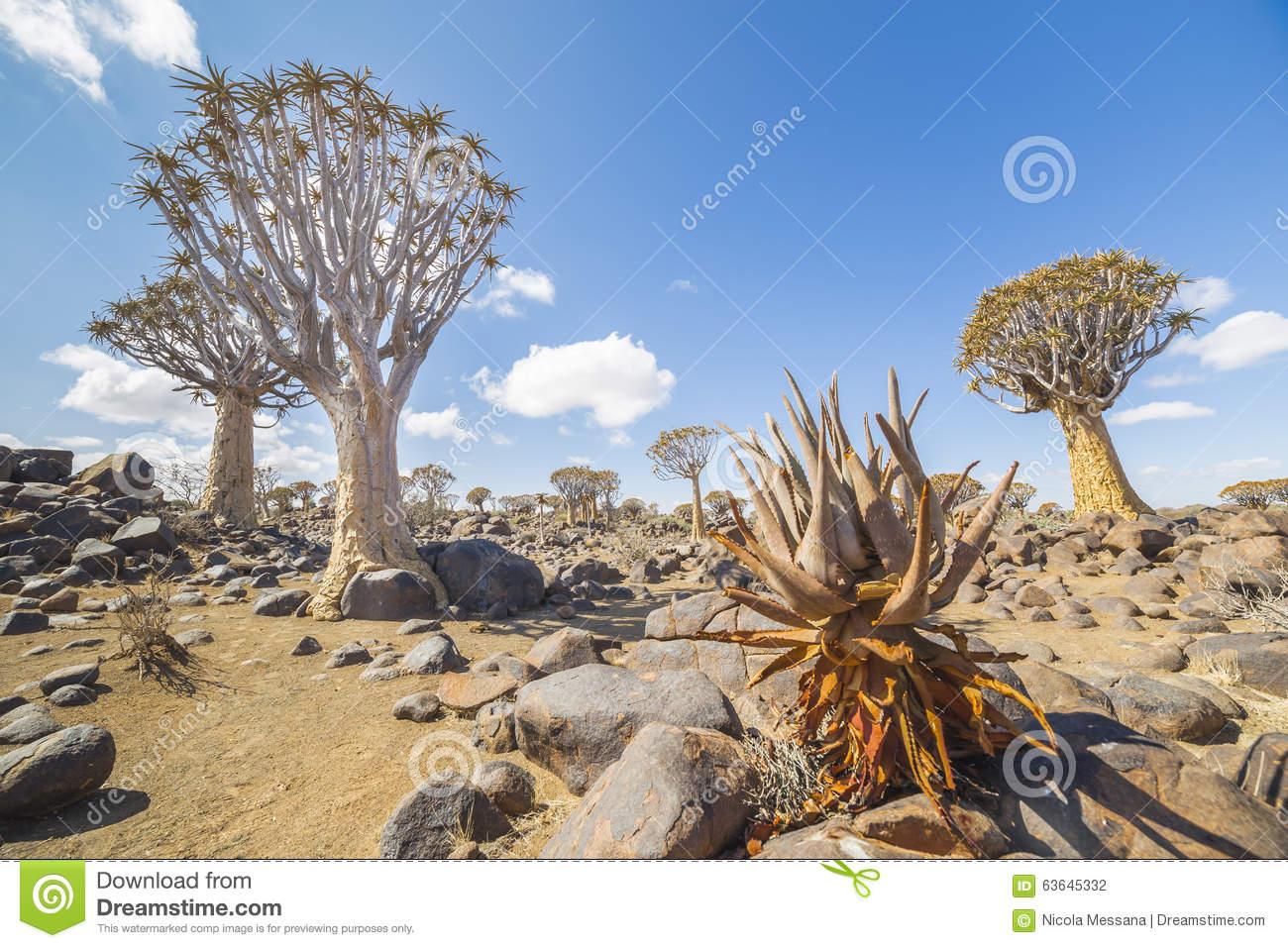 Aloe Khamiesensis And Quiver Tree, Or Aloe Dichotoma, Or Kokerbo.