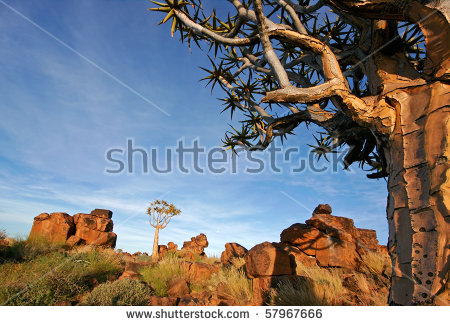 Aloe Dichotoma Stock Photos, Royalty.